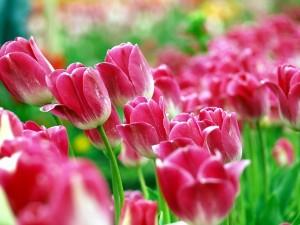 В середине апреля в Никитском ботаническом саду в Ялте впервые пройдет парад весенних цветов.