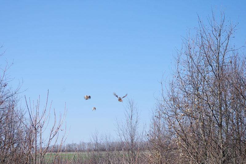 В Красноармейском районе разводят фазанов
