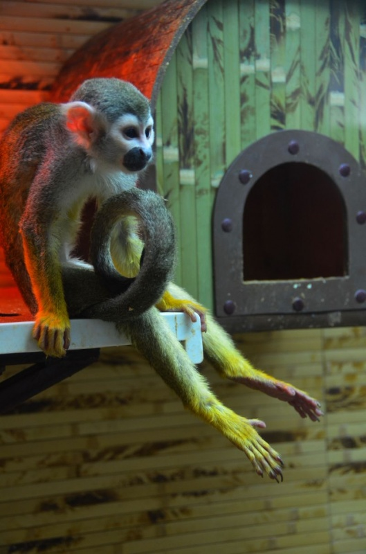 Карликовые обезьянки