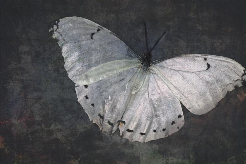 Морфо белая