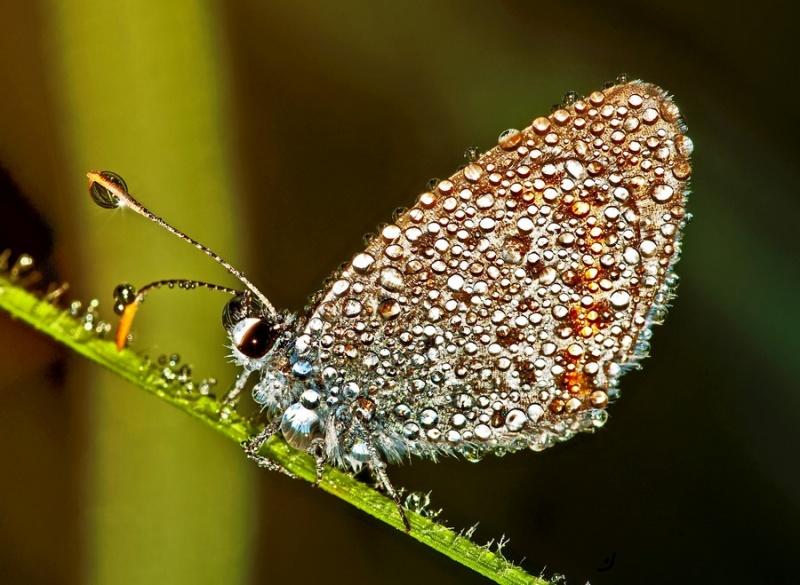 бабочка в росе